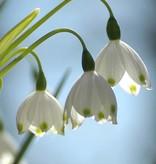 Sommer-Knotenblume Leucojum aestivum 'Gravitye Giant', Bio (Sommer-Knotenblume) - Stinsenpflanze