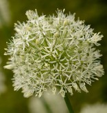 Zierlauch Allium 'Mount Everest' ('Mount Everest' Lauch)