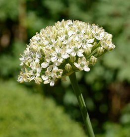 Lauch Allium nigrum