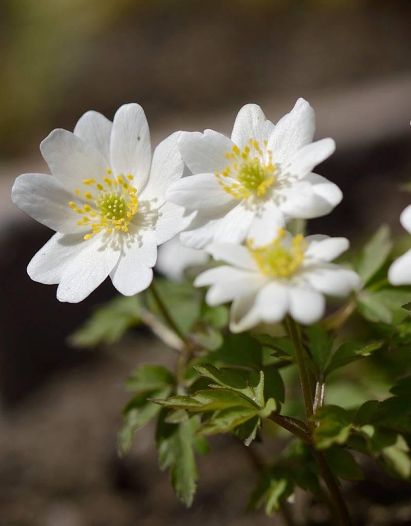 Buschwindröschen Anemone nemorosa 'Hilda' (Buschwindröschen) - Stinsenpflanze