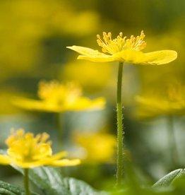Buschwindröschen Anemone ranunculoides