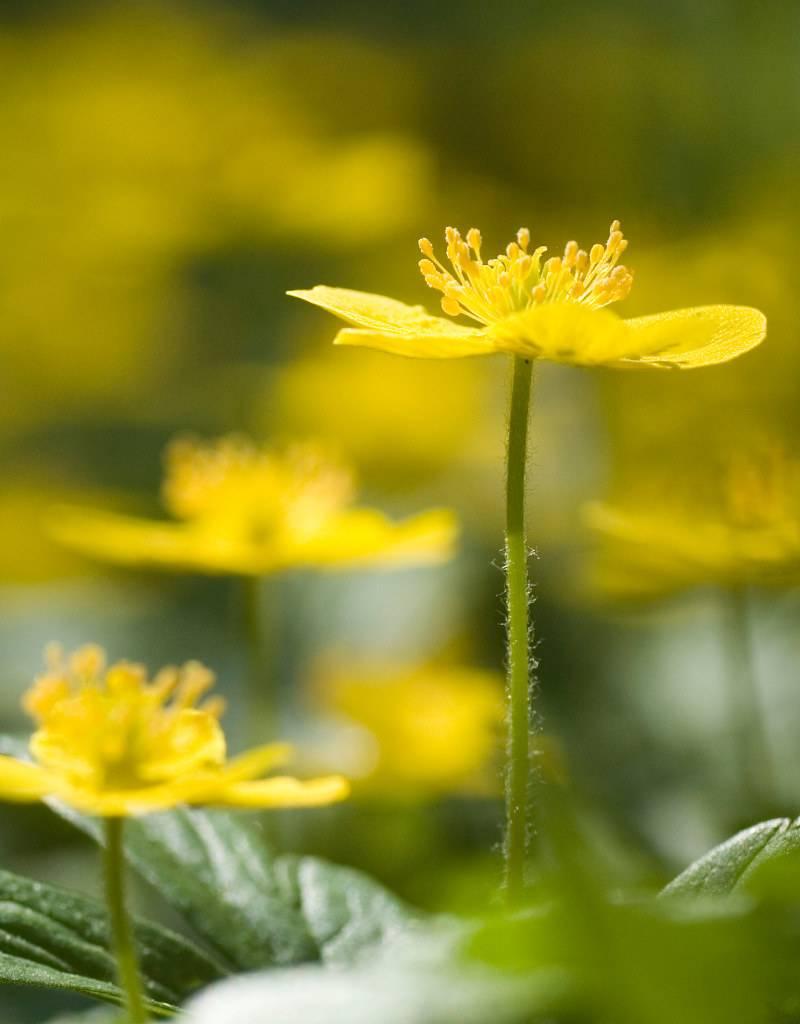 Buschwindröschen Anemone ranunculoides (Gelbes Buschwindröschen) - Stinsenpflanze