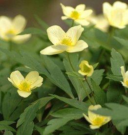 Buschwindröschen Anemone x lipsiensis