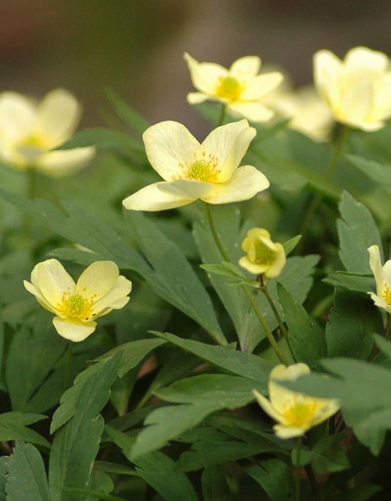Buschwindröschen Anemone x lipsiensis (Buschwindröschen) - Stinsenpflanze