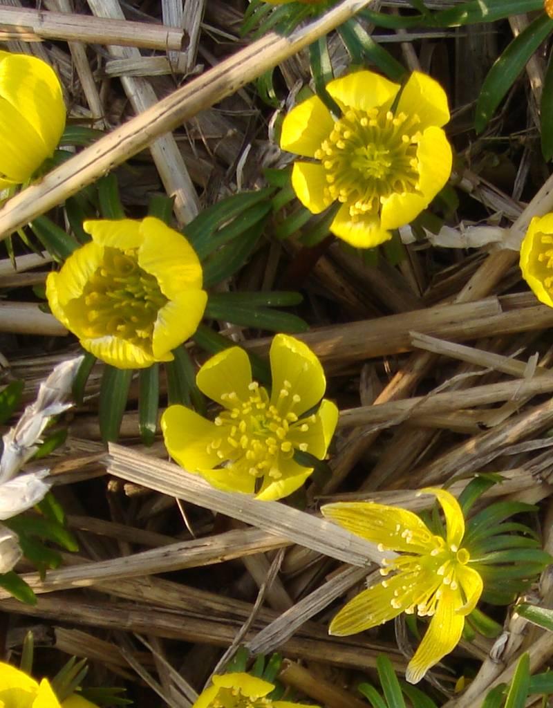 Winterling Eranthis cilicica, Bio (Winterling) - 100 Stück für 4m2