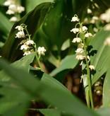 Maiglöckchen Convallaria majalis, Bio (Maiglöckchen) - Stinsenpflanze