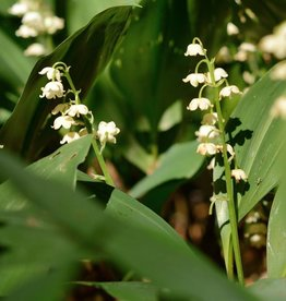 Maiglöckchen Convallaria majalis, Bio