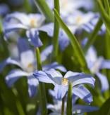 Schneeglanz (Gewöhnlicher ) Chionodoxa luciliae (Gewöhnlicher Schneeglanz) - Stinsenpflanze