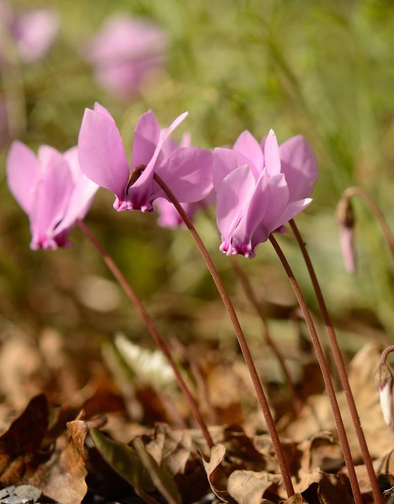 Garten-Alpenveilchen (Herbst) Cyclamen hederifolium (Neapolitaner Alpenveilchen)