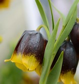 Schachbrettblume Fritillaria michailovskyi