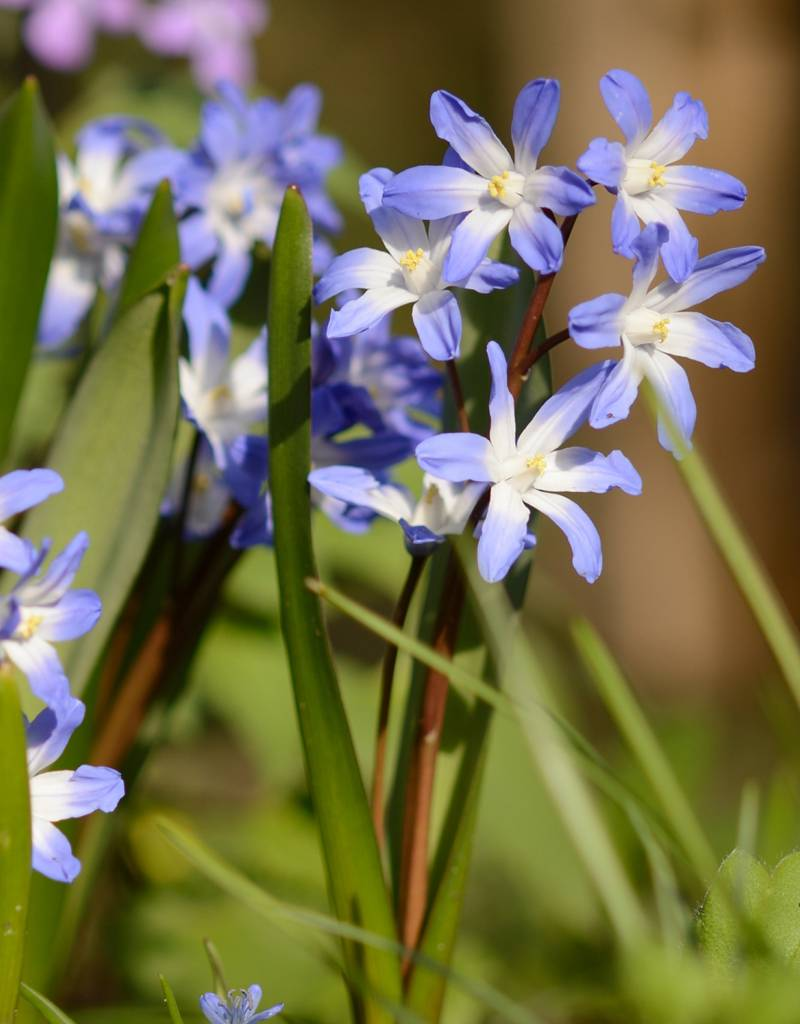 Schneeglanz Chionodoxa forbesii 'Blue Giant' (Schneeglanz)