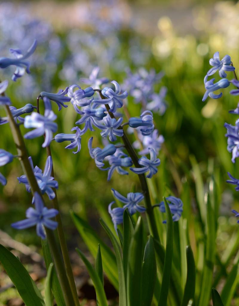 hyacinthus orientalis blau r mische hyazinthe kaufen de warande. Black Bedroom Furniture Sets. Home Design Ideas