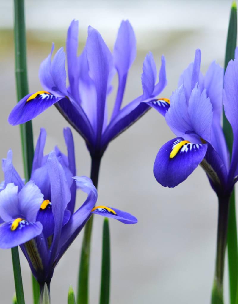 Iris (Kleine Netzblatt) Iris reticulata Harmony (Kleine Netzblatt Iris)