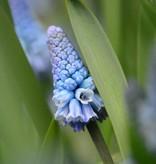 Traubenhyazinthe  Muscari azureum (Himmelblaue Traubenhyazinthe )