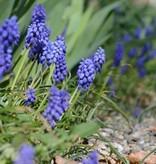 Traubenhyazinthe (Kleine) Muscari botryoides 'Superstar' (Kleine Traubenhyazinthe) - Stinsenpflanze