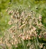 Bulgarischer Schmucklauch  Nectaroscordum siculum (Bulgarischer Schmucklauch )