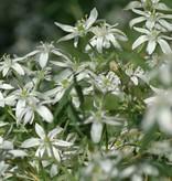 Vogelmilch (Gewöhnliche) Ornithogalum umbellatum (Gewöhnliche Vogelmilch) - Stinsenpflanze