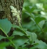 Traubiges Duftsiegel Smilacina racemosa (Traubiges Duftsiegel)