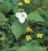Waldlilie Trillium grandiflorum (Waldlilie)