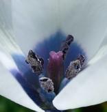 Tulpe (Wild) Tulipa humilis var. pulchella 'Albocaerulea'