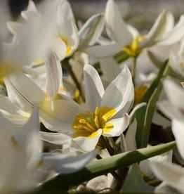 Tulpe (Wild) Tulipa polychroma