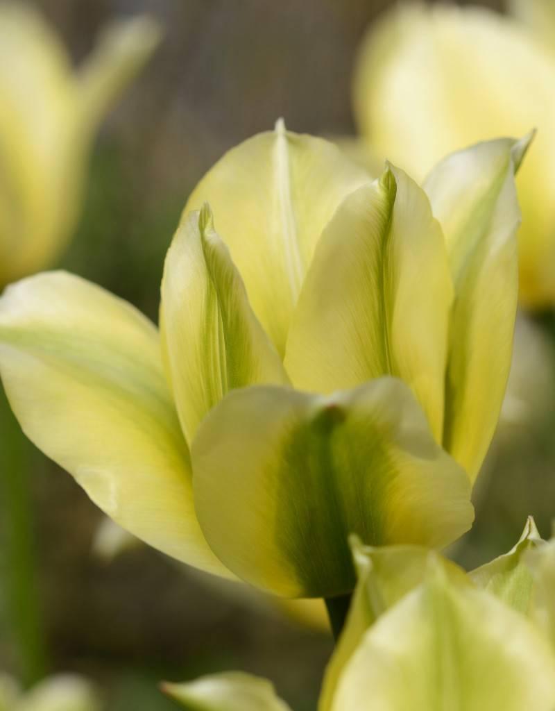 Tulpe Tulipa 'Spring Green'