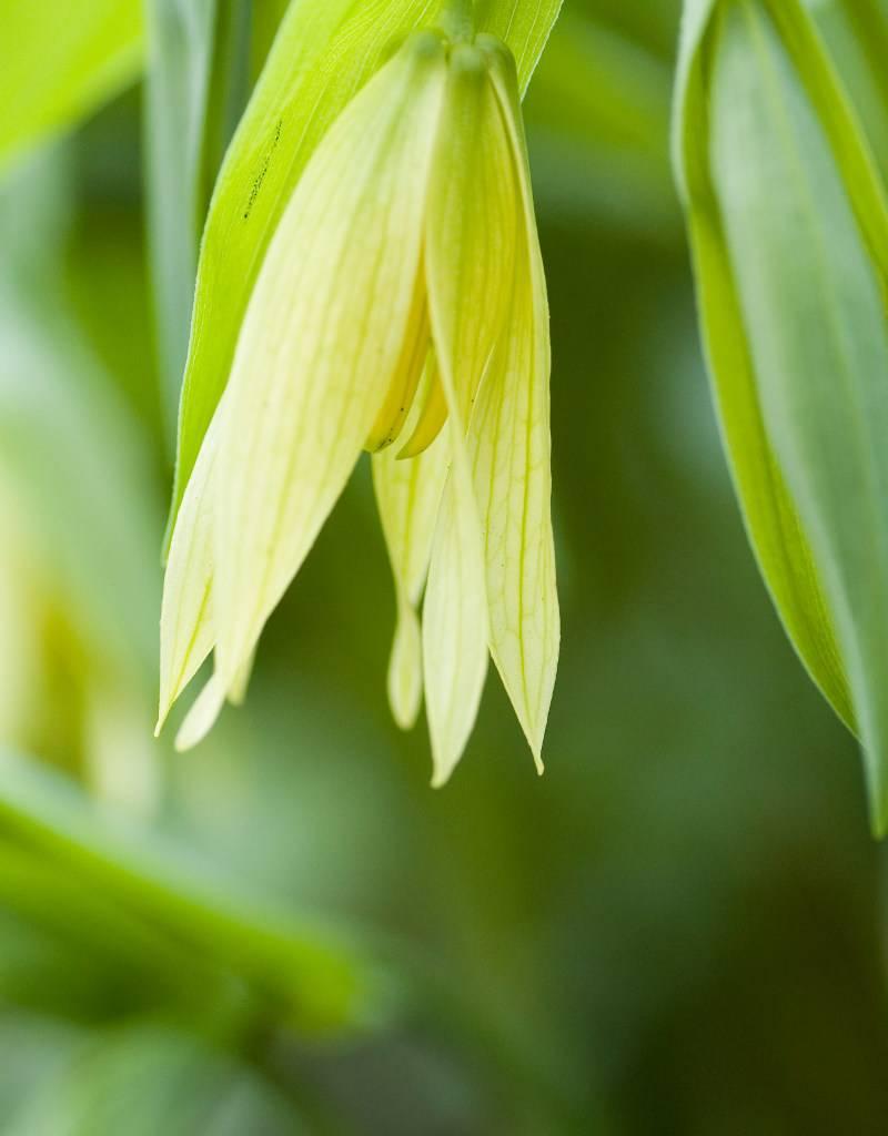 Hänge-Goldglocke Uvularia grandiflora (Hänge-Goldglocke)