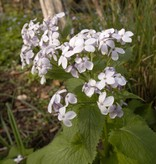 Ausdauerndes Silberblatt Lunaria redivia (Saatgut) (Ausdauerndes Silberblatt)