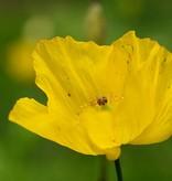 Gelber Wald-Scheinmohn Meconopsis cambrica (Saatgut) (Gelber Wald-Scheinmohn)