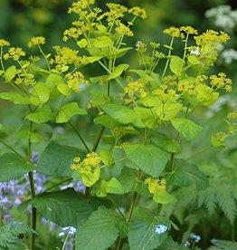 Stengelumfassende Gelbdolde Smyrnium perfoliatum (Saatgut)