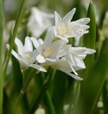 Kegelblume Puschkinia scilloides var. libanotica 'Alba' (Libanon-Kegelblume) - Stinsenpflanze