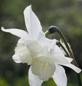 Narzisse  Narcissus 'Tresamble', Bio