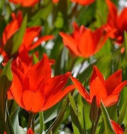 Tulpe Tulipa praestans 'Zwanenburg', Bio