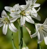 Lauch Allium triquetrum (Glöckchen-Lauch)