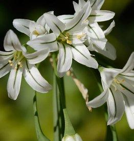 Lauch Allium triquetrum