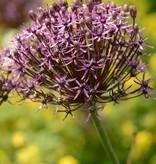 Zierlauch Allium 'Firmanent' (Zierlauch)