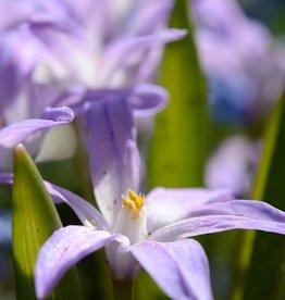 Schneeglanz (Gewöhnlicher ) Chionodoxa luciliae 'Violet Beauty'