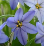 Frühlingsstern Ipheion uniflorum 'Jessie' (Frühlingsstern)