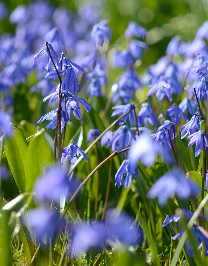 Blaustern (Sibirischer) Scilla siberica 'Spring Beauty' (Sibirischer Blaustern) – Stinsenpflanze