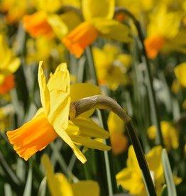 Narzisse  Narcissus 'Jetfire', Bio