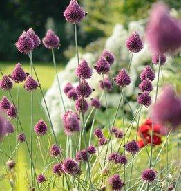 Kugellauch (Kugelköpfiger) Allium sphaerocephalon