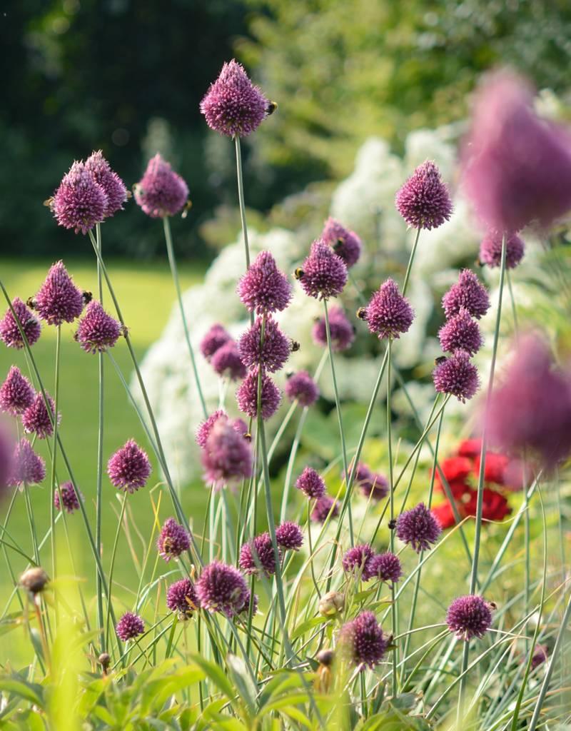 Kugellauch (Kugelköpfiger) Allium sphaerocephalon (Kugellauch)