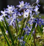Schneeglanz Chionodoxa forbesii (Schneeglanz)