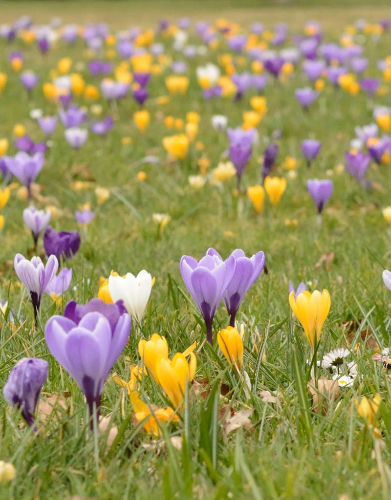 Krokus (Frühlings) Crocus vernus 'Vanguard' (Frühlings-Krokus) – Stinsenpflanze