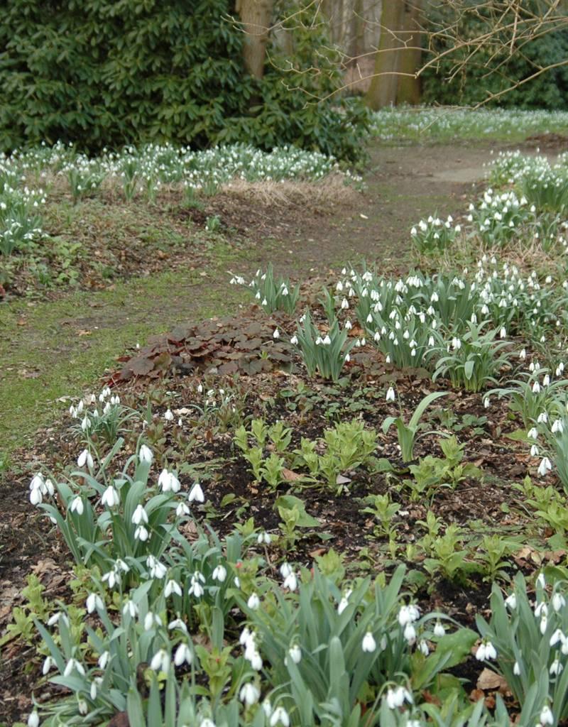 Schneeglöckchen Galanthus elwesii (Grosses Schneeglöckchen) kleine Zwiebelgrösse – Stinsenpflanze