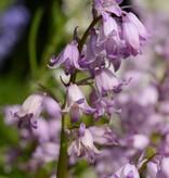 Hasenglöckchen (Spanisches) Hyacinthoides hispanica, blau, rosa, weiss (mix) - 120 Stück für 5m2