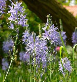 Prärielilie Camassia leichtlinii 'Caerulea', Bio