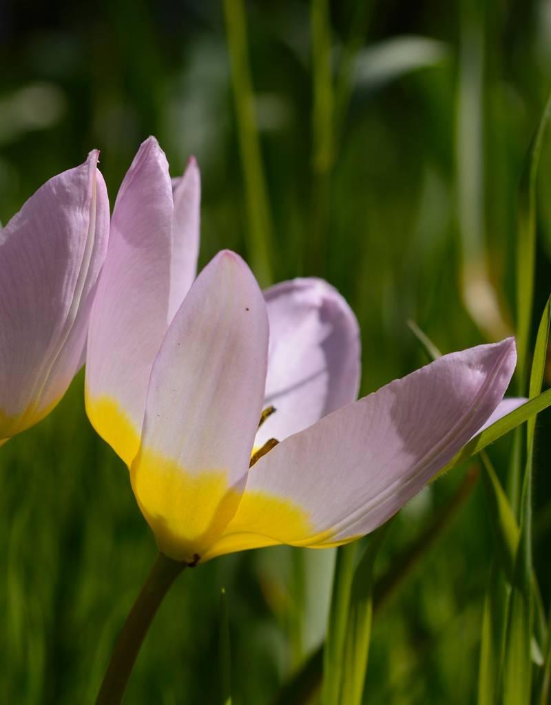 Tulpe Tulipa bakeri 'Lilac Wonder', Bio