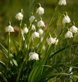 Märzenbecher Leucojum vernum (Märzenbecher) - Stinsenpflanze
