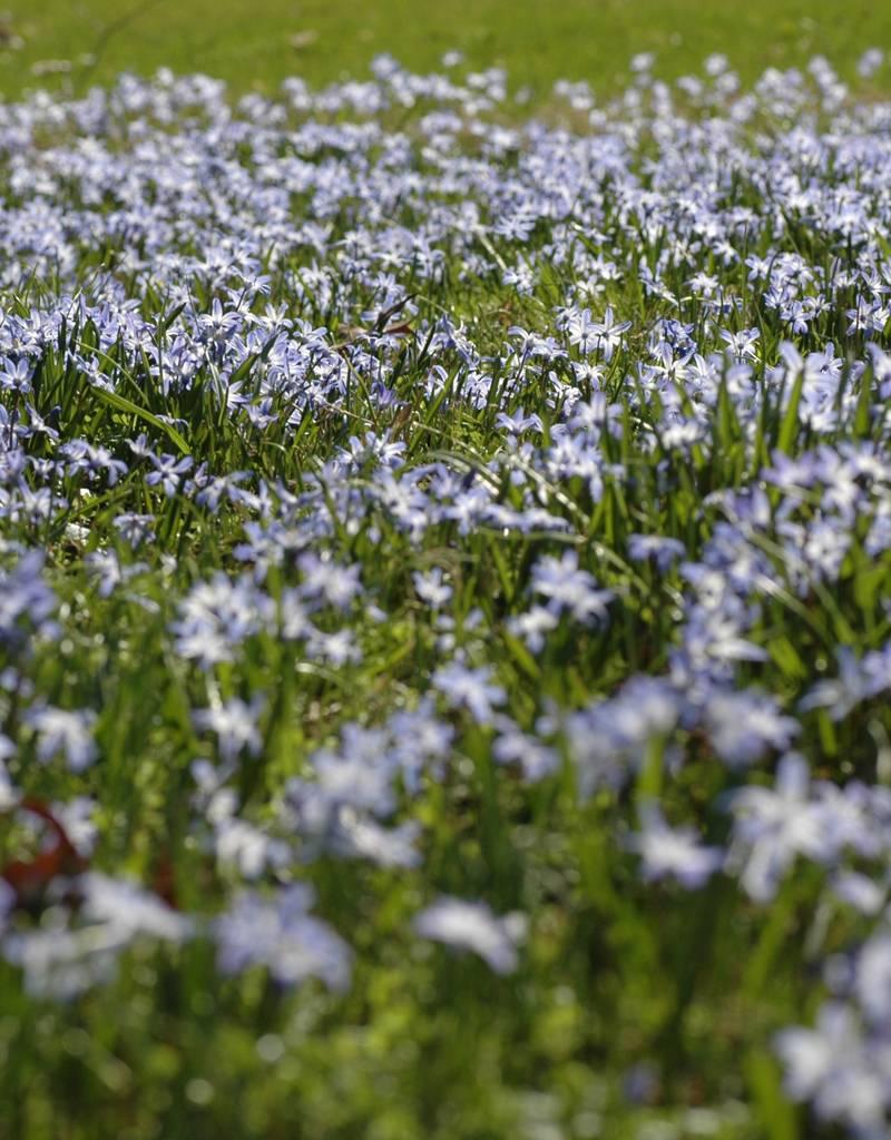 Schneeglanz (Gewöhnlicher ) Chionodoxa luciliae (Gewöhnlicher Schneeglanz) - Stinsenpflanze - 400 Stück für 16m2